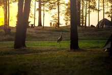 Stork Is Walking At Camping On...