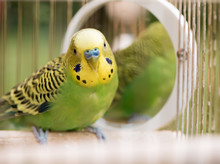Green Budgerigar Parrot Close ...
