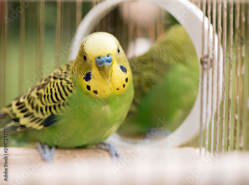 Obraz na plátně Green budgerigar parrot close up sits in cage near the mirror