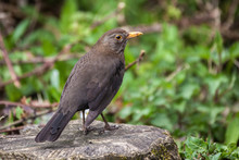 Blackbird (Turdus Merula) Female Bird Perched On A Stree Stump A Common Garden Bird Found In The UK And Europe