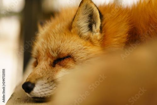 Fox in fox village Canvas Print