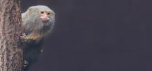Pygmy Marmoset (Cebuella Pygmaea) With Copy Space