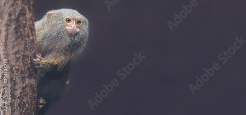 Pygmy Marmoset (Cebuella pygmaea) with copy space