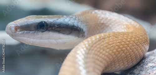 Portrait view of a Beauty rat snake (Elaphe taeniura)