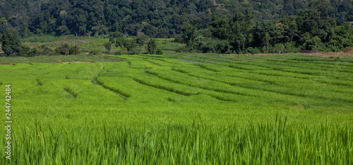 Poster Rijstvelden Green Rice Field with Mountains Background under Blue Sky,in Mae Klang Luang ,Chiang Mai, Thailand