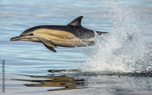 Dolphin jump out at high speed out of the water. South Africa. False Bay. An excellent illustration.