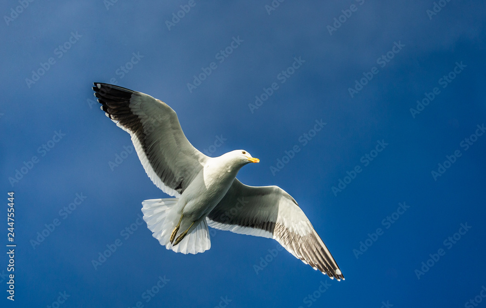 Seagull in flight against the blue sky. A beautiful moment of flight. Cape Town. False Bay. South Africa.