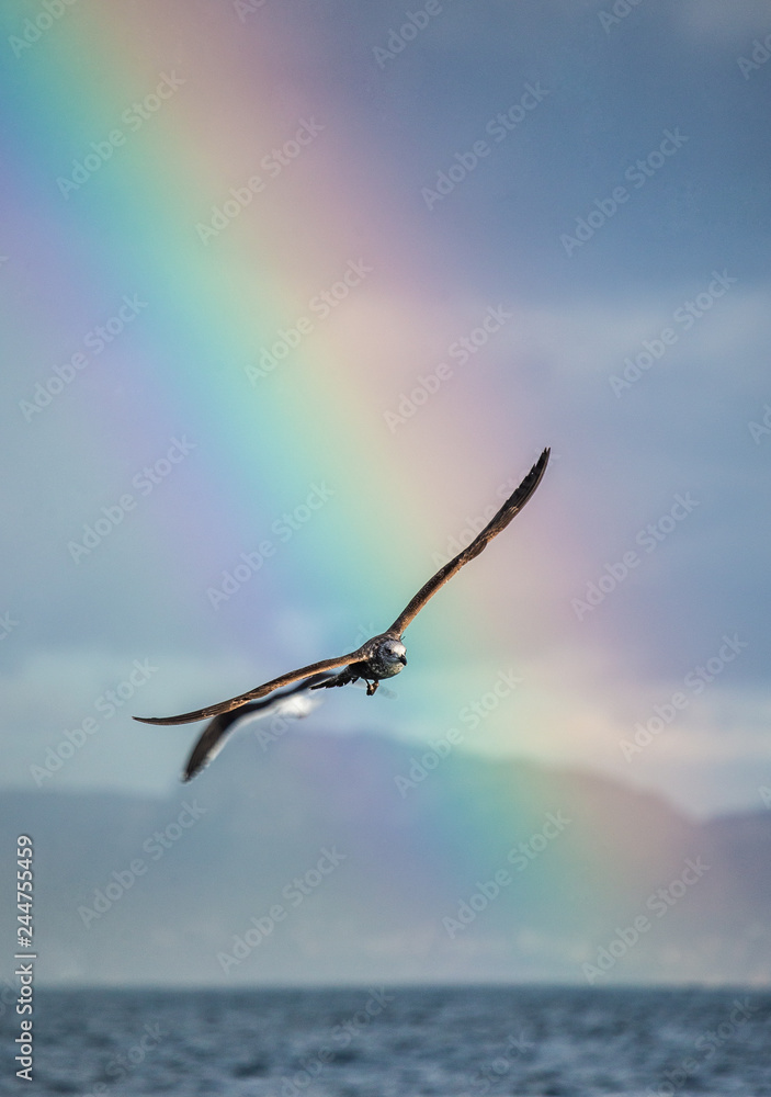 Seagull in flight against the blue sky and coastline  and against the backdrop of the coastline and a stunning rainbow. A beautiful moment of flight.  Cape Town. False Bay. South Africa.