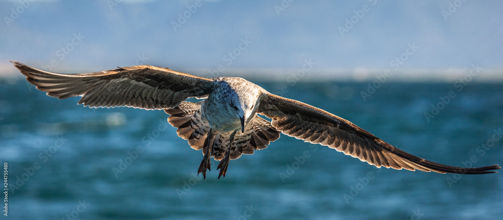 Seagull in flight against the blue sky and coastline.  A beautiful moment of flight.  Cape Town. False Bay. South Africa.