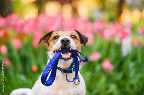 Poster Chien Dog ready for a walk carrying leash in mouth at nice spring morning