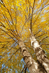 Fototapeta Brzoza Yellowed leaves on trees in forests and parks.