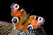 canvas print picture - Schmetterling Makro