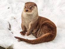 Cute Otter Sitting In Snow