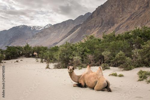 Foto Domestic camel in Nubra valley in Ladakh