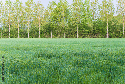 Beautiful rural spring landscape: Green field of cereals and poplars on sunny day