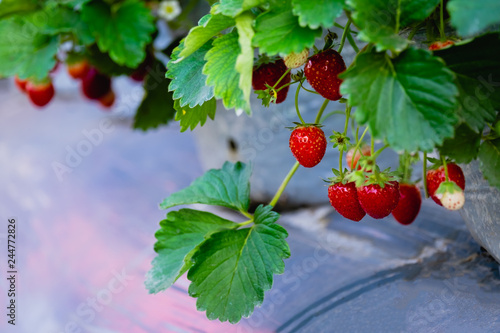 Fotografie, Obraz  strawberry fruit and plant in the garden