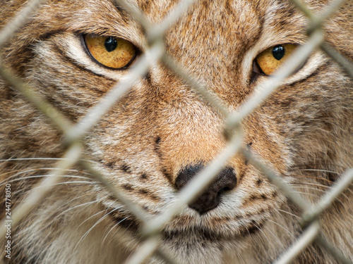 Tela adult lynx female behind fence in animal park