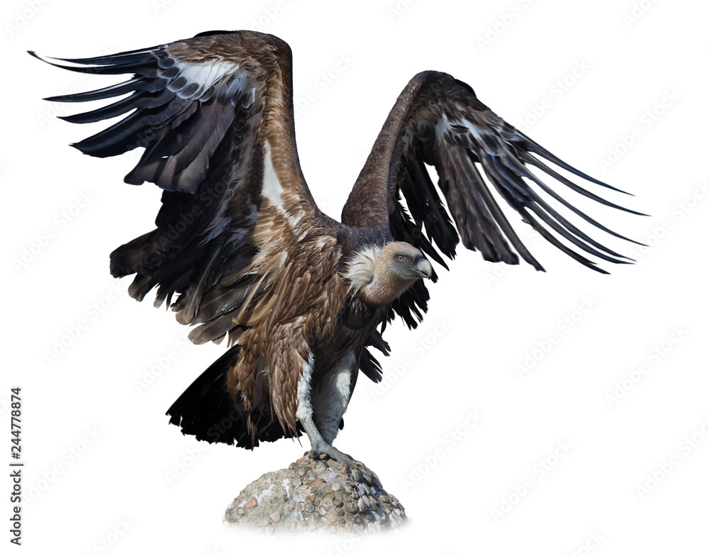 Big Griffon on stone on white background