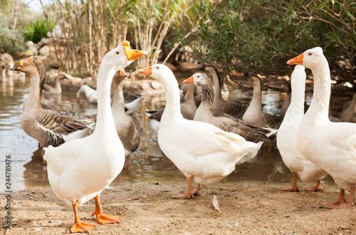 Fotografia Domestic geese on pond