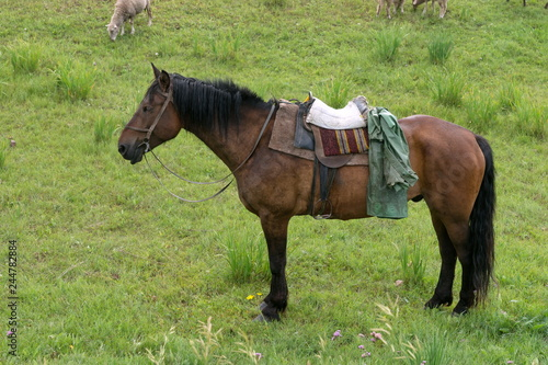 Fotografia, Obraz  A working horse with a saddle and bridle is standing and waiting for a shepherd among green grass