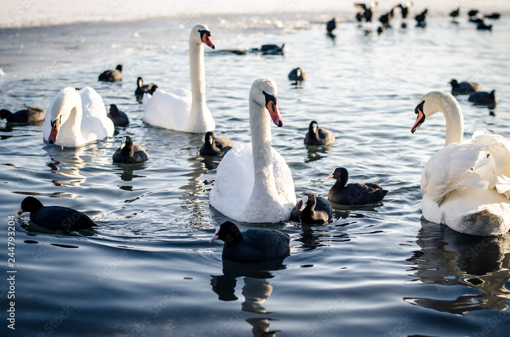 group of swans and duck on water surface