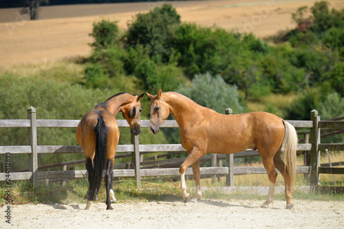 Fotografía  Two stallion are playing in the paddock near stables in the hot summer day