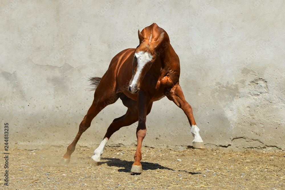 Fototapeta Bright chestnut Akhal-Teke stallion with white forehead plays in the paddock beside gray concrete wall. Horizontal, front view, in motion.