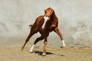 Bright chestnut Akhal-Teke stallion with white forehead plays in the paddock beside gray concrete wall. Horizontal, front view, in motion.