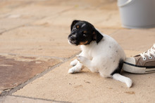 Young Jack Russell Terrier Puppy Dog 7,5 Weeks Old.  With The Paw, The Dog Is Scratching