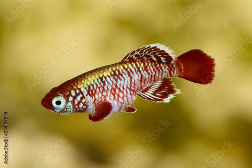 Red eggersi killifish aquarium fish Nothobranchius eggersi