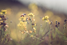 Bee Flying To Yellow Flower