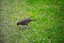 A Bird Hunting Worms In The Grass Of A Garden