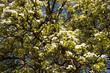 Leinwanddruck Bild - apfelblüte