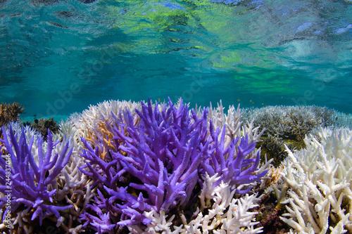 Fotografía  Bright neon purple fluorescing coral and bleached coral