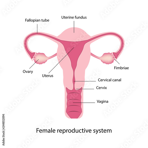 Photo  Female reproductive system anatomy vector