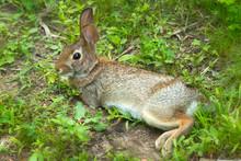 New England Cottontail Rabbit ...