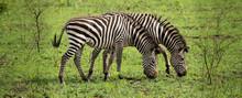 Two Zebras Grazing In The Wild
