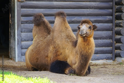 Fotografie, Obraz  View of a Bactrian camel with two humps