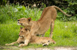 Young lion and lioness stretching