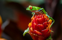 Red Eyed Tree Frog In Costa Rica