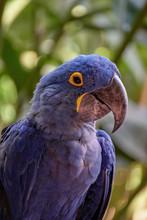 Portrait Blue Guacamaya, Blue And Yellow Macaw