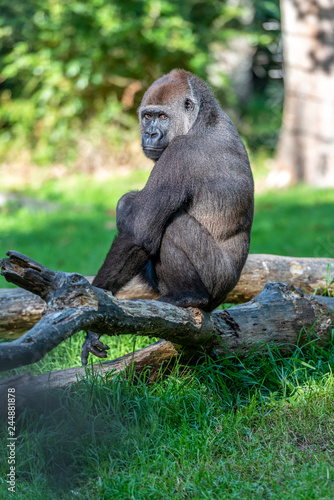 Canvas Prints Monkey Gorilla is pooping while he is sitting on a branch