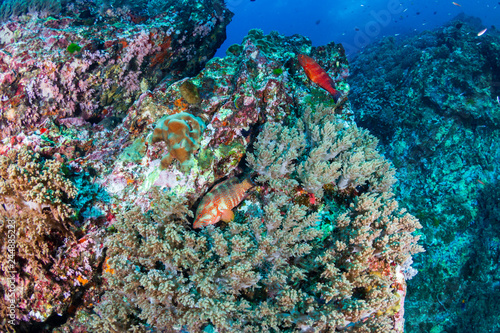 Staande foto A colorful Coral Grouper (Cephalopholis miniata) swimming around a healthy, thriving tropical coral reef in Thailand