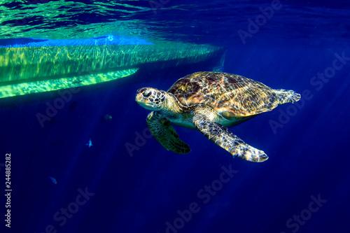 In de dag Schildpad Large Green Sea Turtle (Chelonia mydas) near the surface in a tropical ocean (Similan Islands)