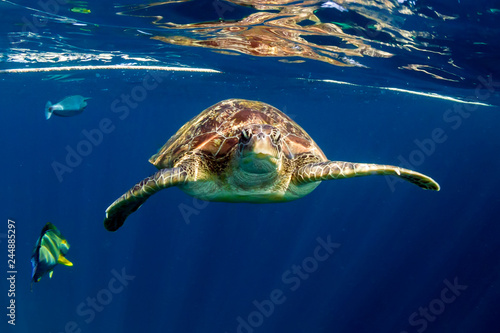 Tortue Large Green Sea Turtle (Chelonia mydas) near the surface in a tropical ocean (Similan Islands)