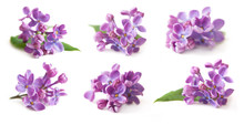 Lilac Isolated On White Backgr...