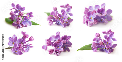 lilac isolated on white background set