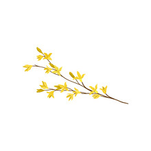 Forsythia Branch With Small Ye...