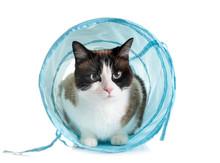Siamese Cat In Studio