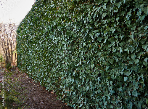 Wall Of Common Ivy Can Be Used As A